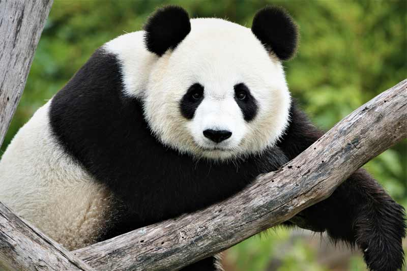 Caracteristica Del Oso Panda Pictures To Pin On Pinterest