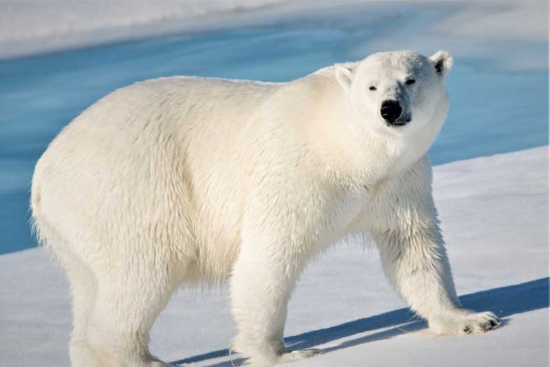 oso polar descripcion
